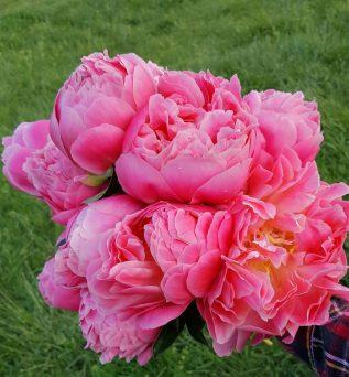 Peonies - Pink Coral