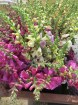Wagon load of foxgloves