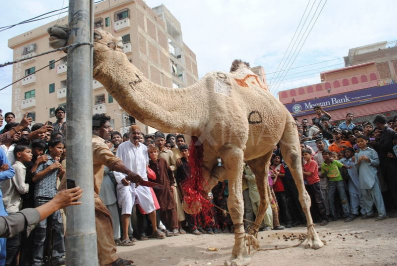 1320757348-camel-sacrifice-during-the-second-day-of-eid-ul-adha_916220