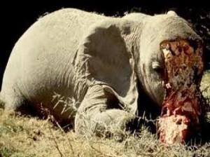Elefantes-matanza1-300x2241