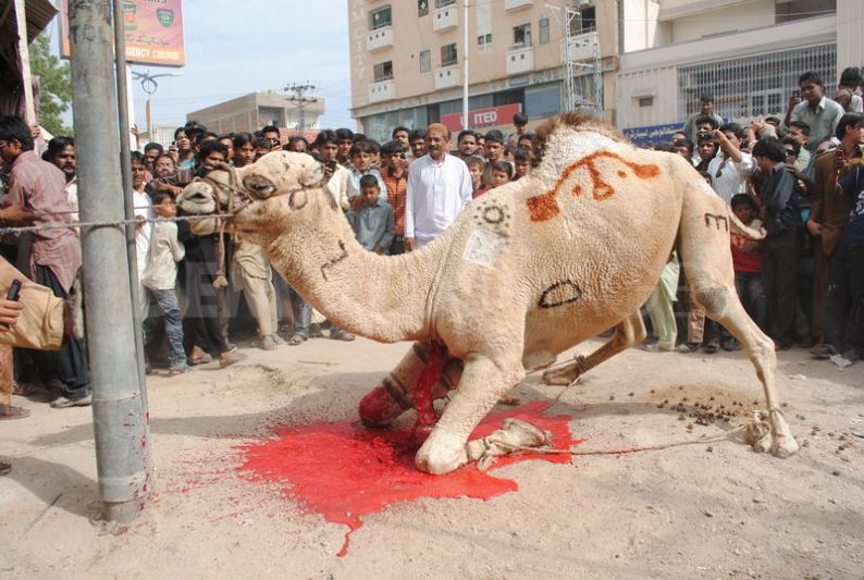 1320757348-camel-sacrifice-during-the-second-day-of-eid-ul-adha_916221