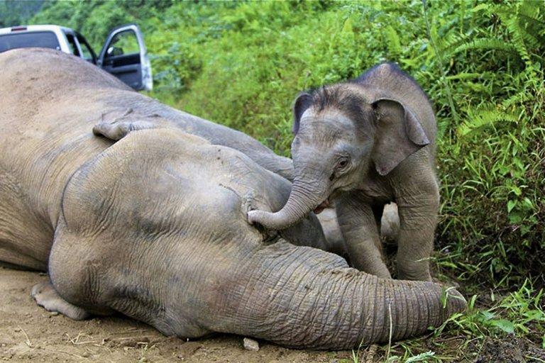 6083259-malasia-vida silvestre-medio ambiente-elefantes
