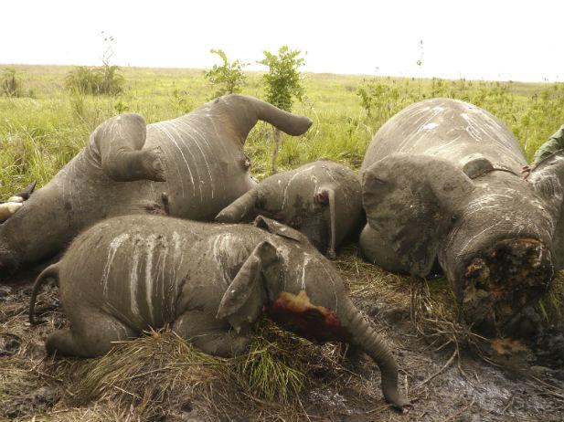 Africa-elephant-poaching