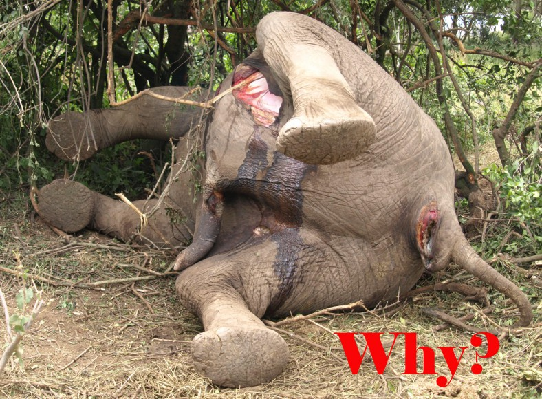 Dead Elephant, Why?