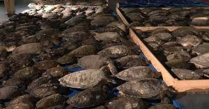 cold-stunned sea turltes