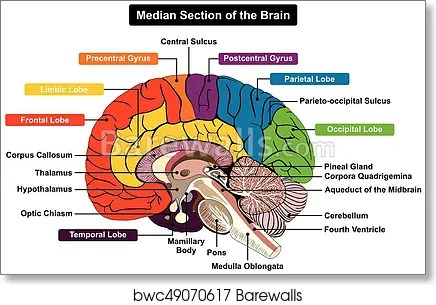 Blank Brain Diagram Pons - Download Wiring Diagrams •