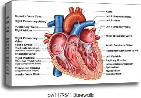 Heart Papillary Muscles Diagram Heart Septum Papillary Muscles