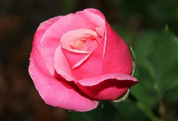 Hot Flower Deal One Pink Rose Delivered On Valentines