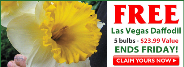 Breck S Bulbs Free Las Vegas Daffodil Bulbs Pay Shipping 24 Value