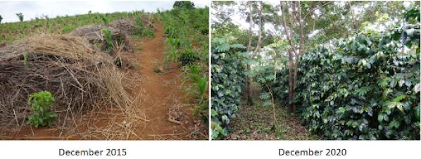 Dos escenas de reforestación una al lado de la otra.