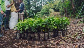 Las plantas de café se preparan para ser colocadas en el suelo.