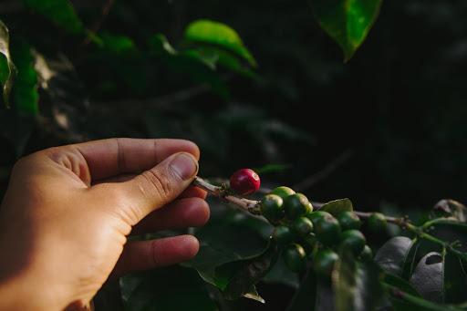 Un primer plano de las manos tocando una cereza de café madura.