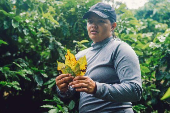 Un agricultor de café con una gorra de béisbol y mangas largas sostiene hojas amarillentas por la roya del café.