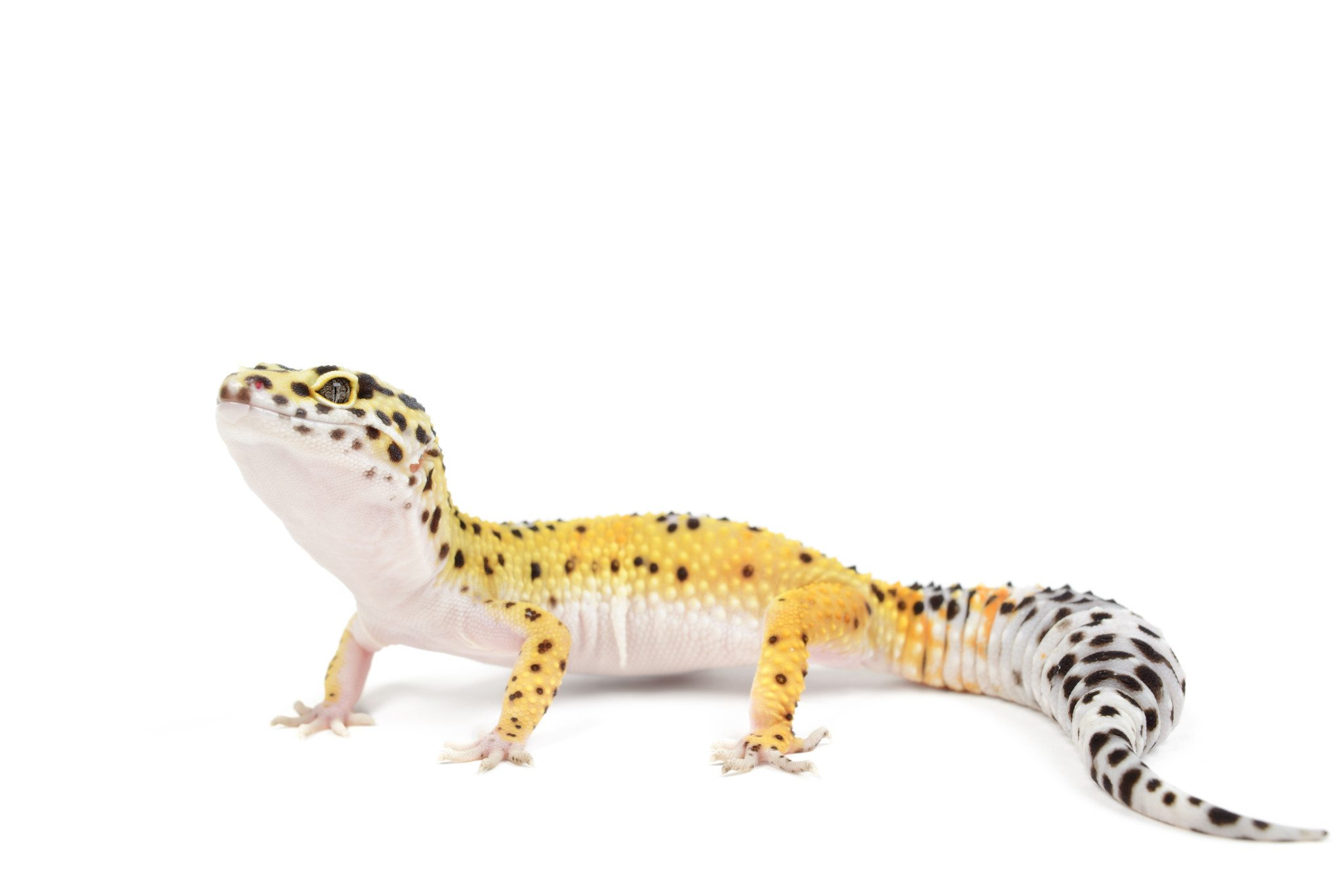 Leopard Gecko Facts 6