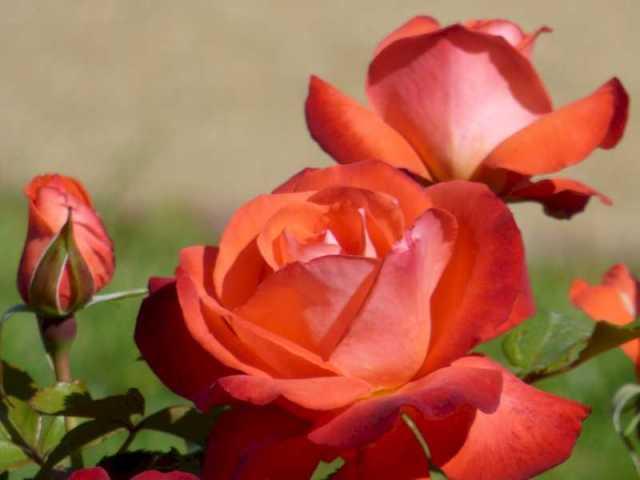 Rosas rojas del Concurso Internacional de rosas nuevas