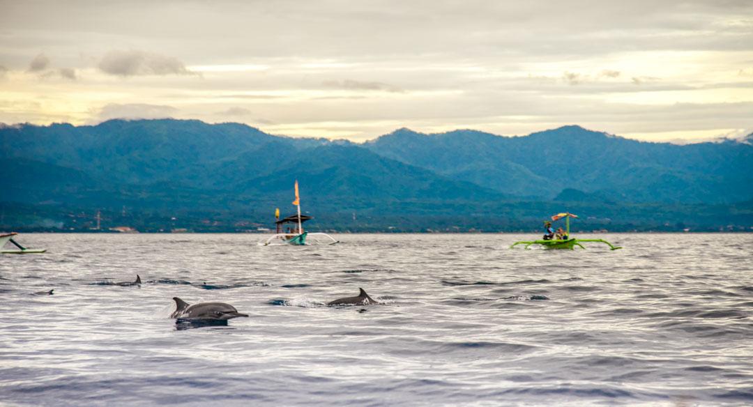 delfiner i lovina