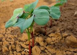 Journey of Cotton: Growing   Barnhardt Cotton