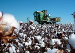 Journey of Cotton: Harvesting | Barnhardt Cotton