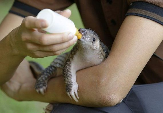 Baby Pangolins Are Undeniably Cute Barnorama