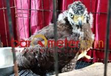 Elang Bido, salah satu satwa dilindungi yang akan diperdagangkan. | Foto: Barometerjatim.com/natha lintang