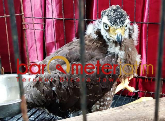 Elang Bido, salah satu satwa dilindungi yang akan diperdagangkan.   Foto: Barometerjatim.com/natha lintang