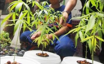 TANAMAN GANJA: Direktorat Narkoba Polda Jatim saat mengamankan tanaman ganja di tempat Ardian. | Foto: IST