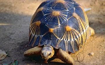ENDEMIK MADAGASKAR: Radiated Tortoise (Astrochelys radiata), kura-kura endemik Madagaskar.   Foto: Mongabay/IST
