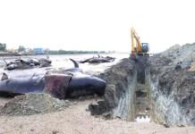 KEDALAMAN 5 METER: Jaral penguburan paus 70 meter dari bibir pantai dengan kedalaman lima meter. | Foto: IST