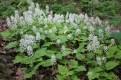 Tiarella Cordifolia Foam Flower