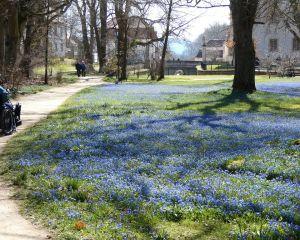 Blausternchen im Schloßgarten Ellingen