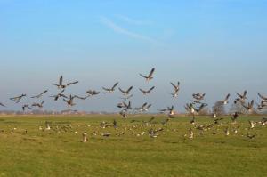 Zugvögel in Ditzumerverlaat in Ostfriesland
