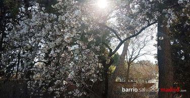 almendros en flor quinta de los molinos
