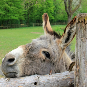 A donkey with his head on a fence in Lymington, Hampshire, New Forest