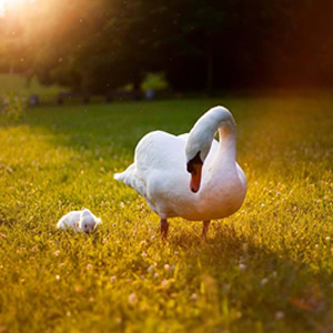 Swan & cygnet on the grass while the sun is setting