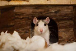 a nesting rat