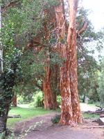 Arrayanes bomen