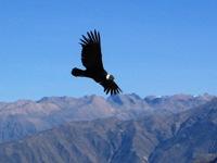 Condor bij het Cruz del Condor