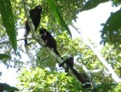 Howler monkeys in Cahuita