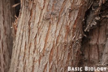 Bark of a plant stem