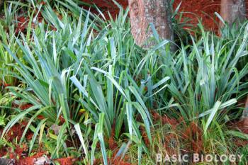 Astelia flax bush
