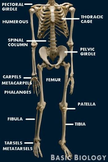 Mammalian skeleton