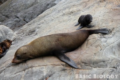 NZ fur seal on the rocky shore