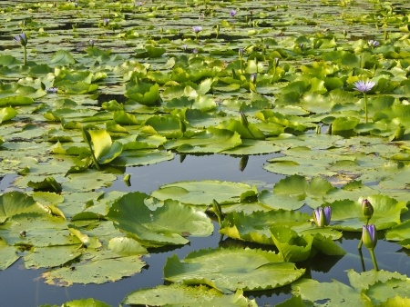 how to fish lily pads