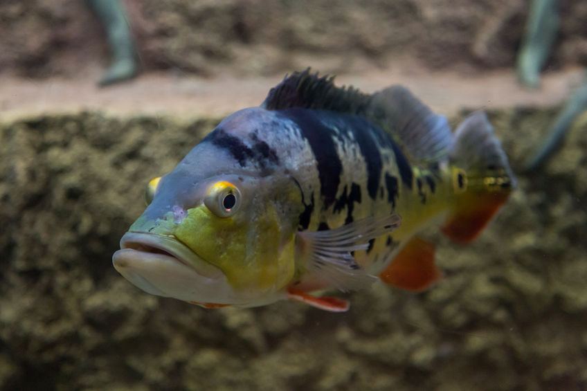 what do peacock bass eat