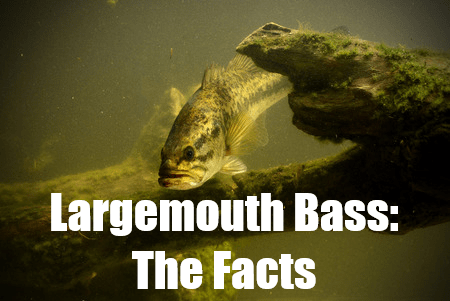 facts on largemouth bass