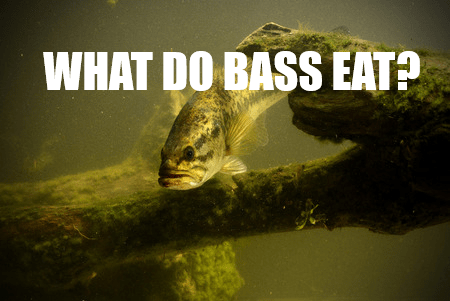 What do bass eat