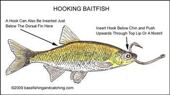 Image result for how to hook live fish bait