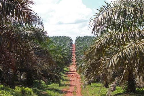 Plantation de palmiers à huile de la compagnie PTPN 7 dans la commune de Lais, Sumatra Sud.