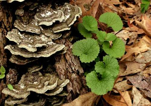 FDA Approves Bastyr Turkey Tail Trial for Cancer Patients