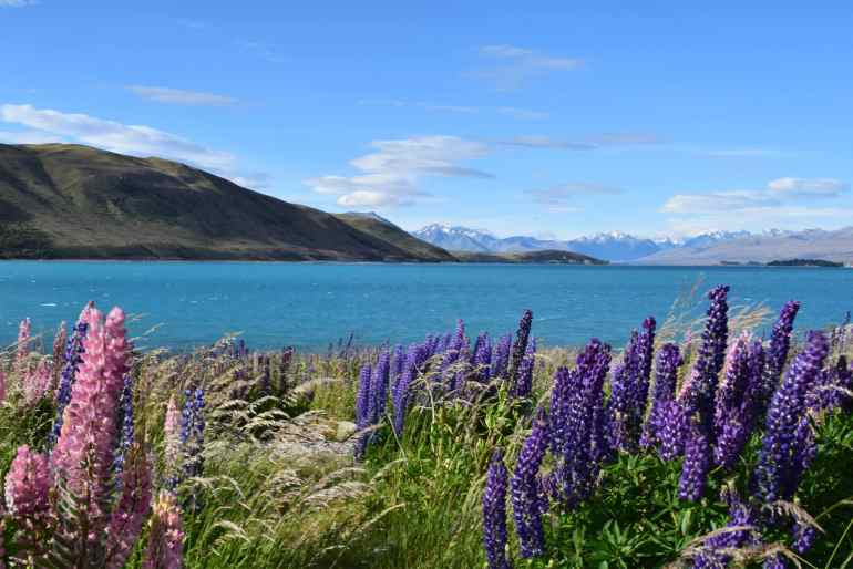 beautifully colourful Russell Lupines are starting to bloom in the Mackenzie, Lake Tekapo